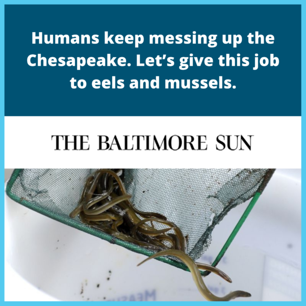 Humans keep messing up the Chesapeake. Let's give this job to eels and mussels