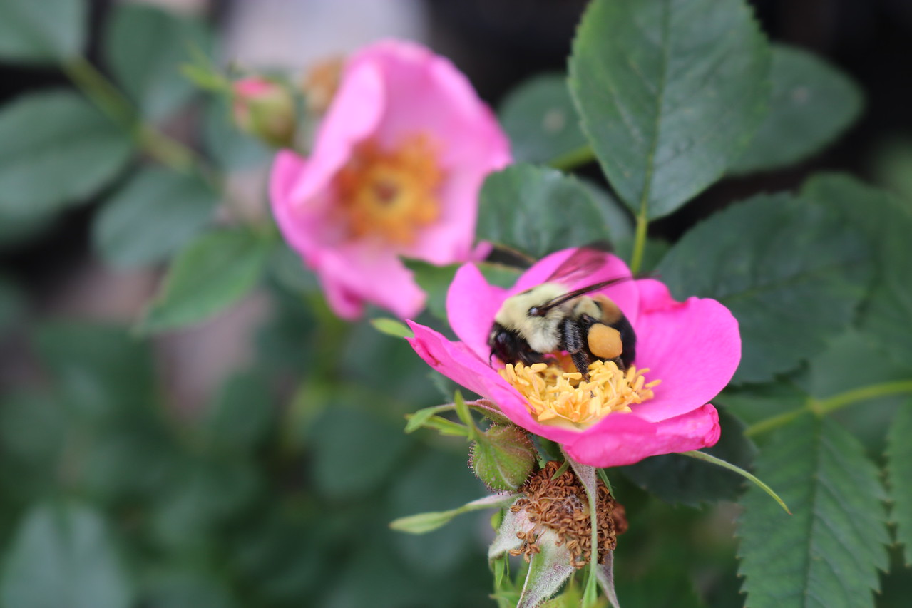 Pictured: A yellow and black bumblebee pollinating a pink flower at Herring Run Nursery.